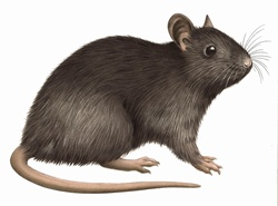 Close up Black rat (Rattus rattus) on white background