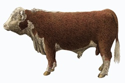 Hereford bull on white background