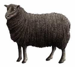 Black Welsh Mountain sheep on white background