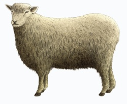 Cotswold sheep on white background