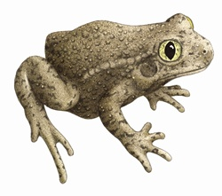 Close up of Common midwife toad (Alytes obstetricans) on white background
