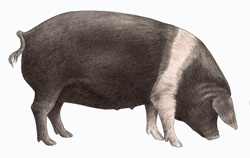 British saddleback pig, on white background