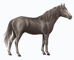 Caspian horse (Equus ferus caballus) on white background