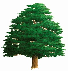 Single tree on white background, Yew (Taxus baccata)