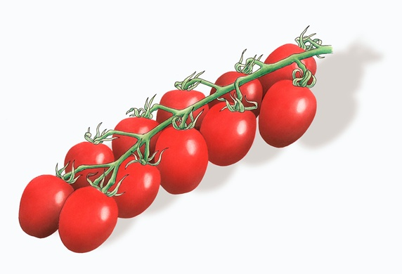 Red Piccolo plum tomatoes on the vine