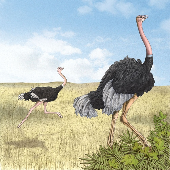 Ostrich running in field