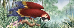Illustration of Scarlet Macaw