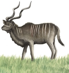 Illustration of Greater Kudu