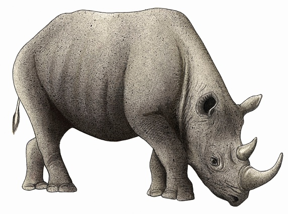 Black rhinoceros (Diceros bicornis) on white background