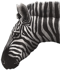 Zebra's head on white background