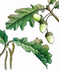 Oak (Quercus robur) leaves and acorns on white background