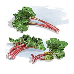 Fresh rhubarb on white background