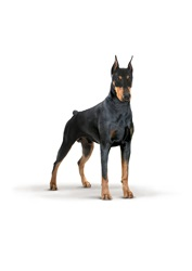 Dobermann on white background