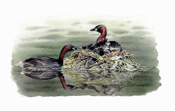 Illustration of little grebes with chicks in nest
