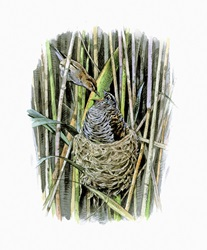 Illustration of reed warbler feeding cuckoo chick in nest