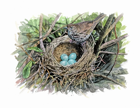 Illustration of song thrush with eggs in nest