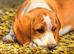 Beagle resting in grass