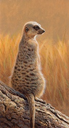 Meerkat (Suricata suricatta) sitting on log