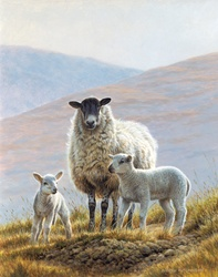 Three sheep in hills