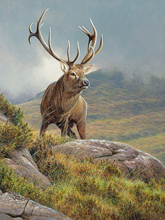 Red deer stag (Cervus elaphus) in rugged moorland