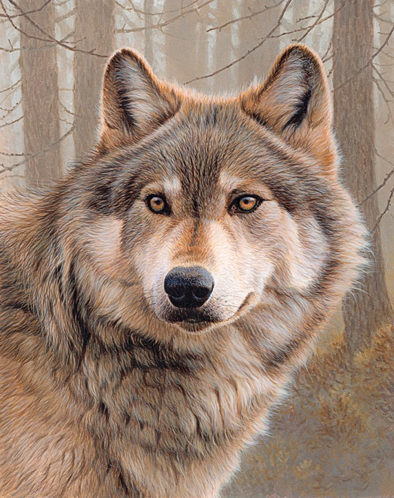 Close up of North American timber wolf (Canis lupus lycaon)