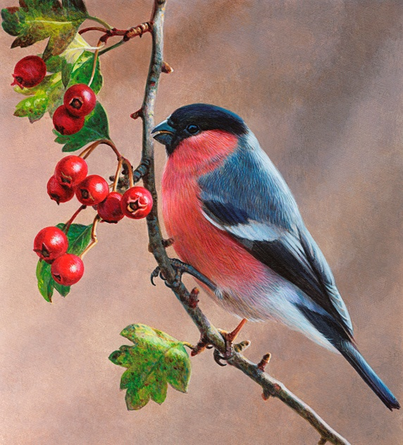 Bird on branch with berries, Bullfinch (Pyrrhula pyrrhula)