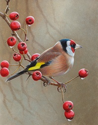 Bird on branch with berries, Goldfinch (Carduelis carduelis)