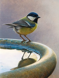 Bird standing on birdbath, Great tit (Parus major)
