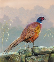 Pheasant standing on stone wall