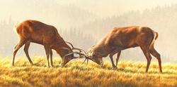 Stags fighting in meadow