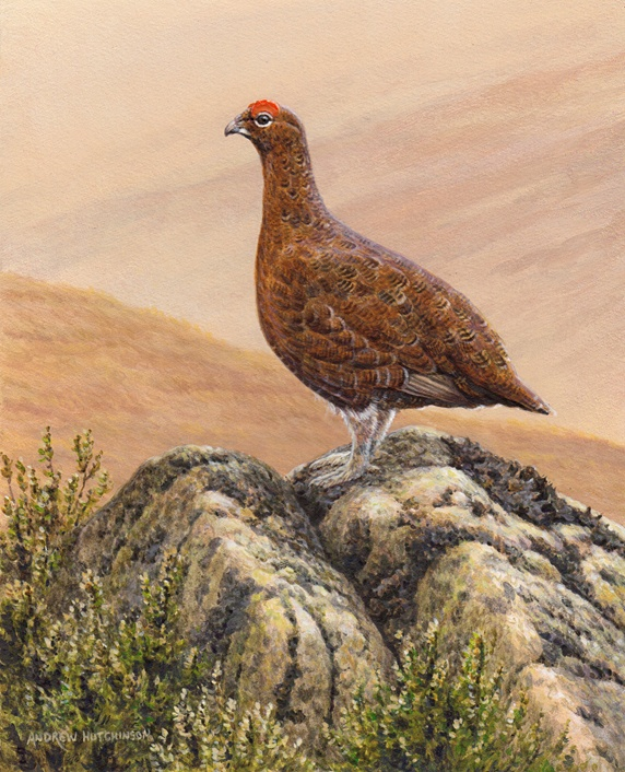 Grouse standing on rock in moorland
