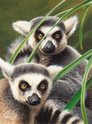 Close up of two ring-tailed lemurs