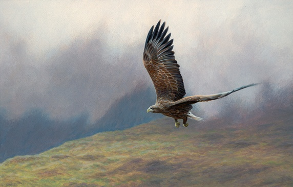 White-tailed sea eagle flying over misty upland landscape