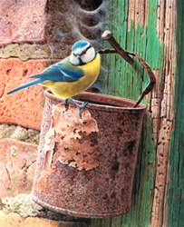 Eurasian blue tit (Cyanistes caeruleus) perching on bucket
