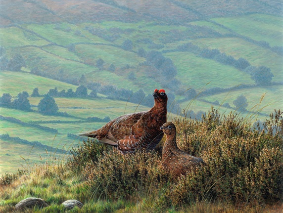 Male and female red grouse together in heather on hill