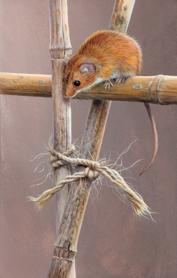 Harvest mouse looking down from top of garden bamboo cane