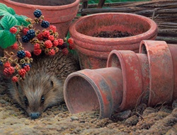 Hedgehog peeking out from between plant pots and blackberry branches