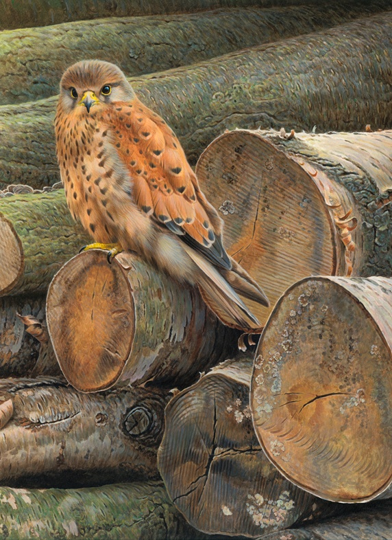 Common kestrel perched on pile of logs