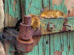 Two harvest mice on rusty hinge of dilapidated door with peeling paint
