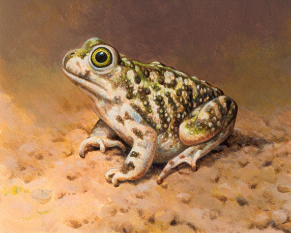 Close up of Couch's Spadefoot toad