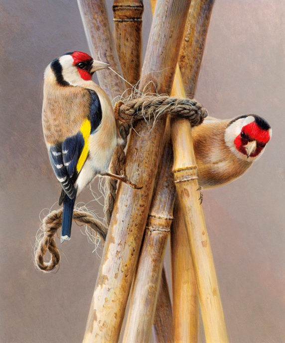 Close up of two goldfinches pecking twine on garden bamboo cane