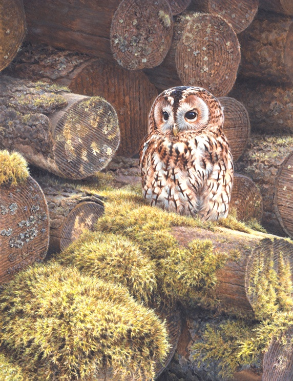Tawny owl perching on log