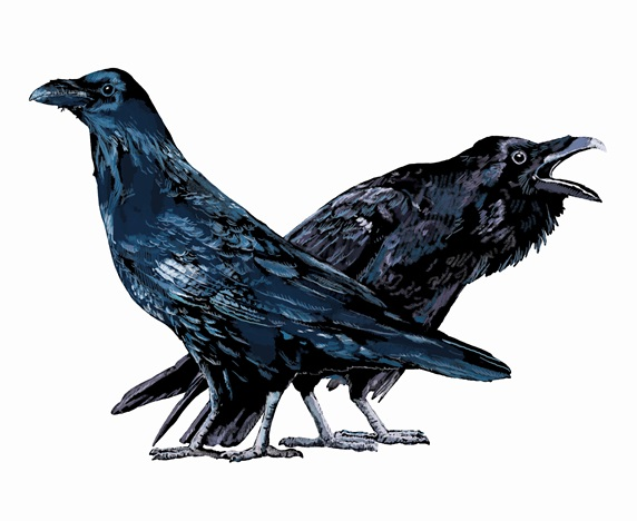 Illustration of two ravens