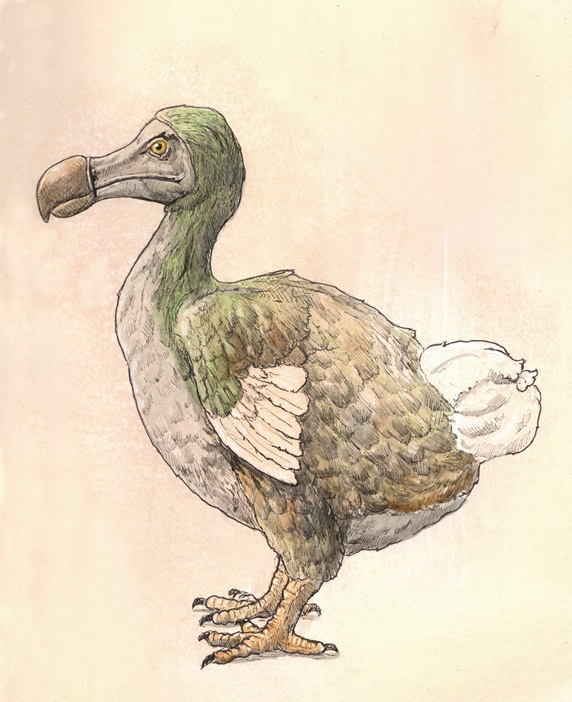 Drawing of dodo