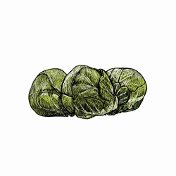 Illustration of brussels sprouts