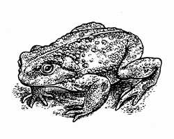 Black and white scraperboard engraving of toad