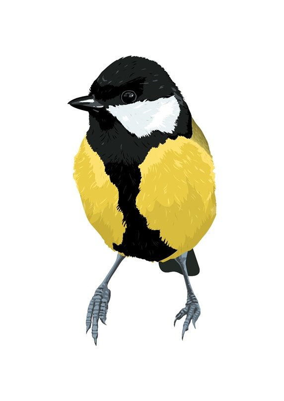 Chickadee bird, white background