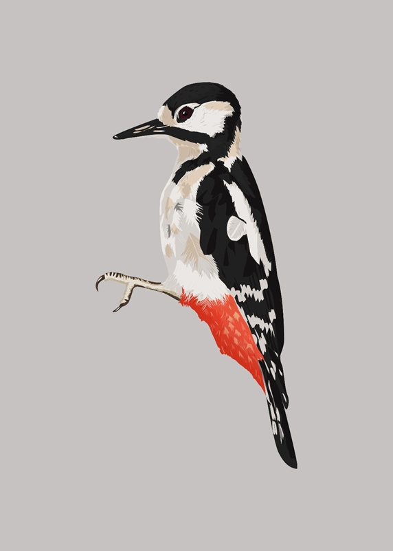Side view of woodpecker, grey background