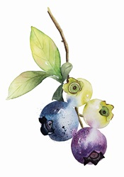 Watercolour painting of ripening blueberries on twig