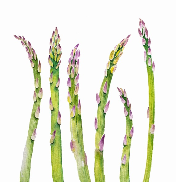 Watercolour painting of row of asparagus spears